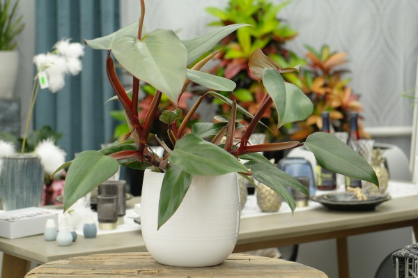 Baumfreund 'Ruby Red' - Philodendron scan. (13cm Topf, 30-50cm)