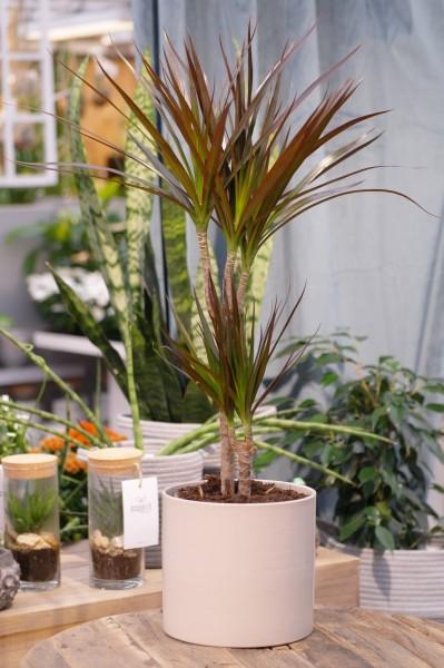 Drachenbaum - Dracaena marginata (17cm Topf, 70-90cm)