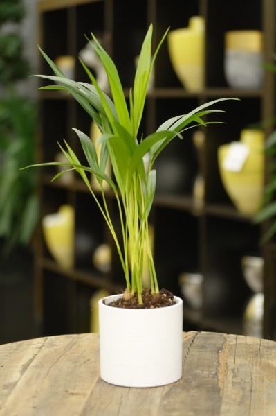 Arecapalme - Dypsis lutescens (9cm Topf, 30-40cm Höhe inkl. Kulturtopf)