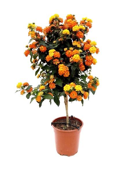 Wandelröschen auf Stamm gelb-orange - Lantana camara (19cm Topf, Sta, 60-80cm)