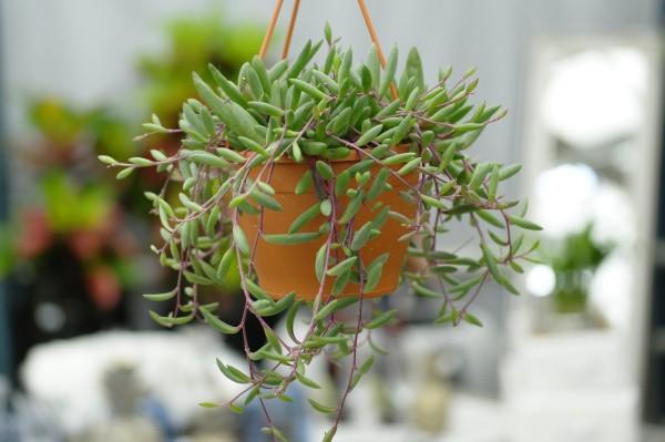 Perlenschnur 'Purple Flush' - Senecio herreianus (12cm Ampel, 15-25cm)
