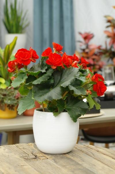 Elatior-Begonie rot - Begonia elatior (13cm Topf, 25-35cm Höhe inkl. Kulturtopf)