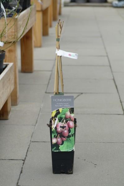 Kiwi 'Kens Red' - Actinidia arguta (C2, gestäbt, 60-80cm)