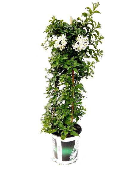 Jasminblütiger Nachtschatten Pyramide - Solanum jasminoides (C3, 70-90cm Höhe inkl. Kulturtopf)