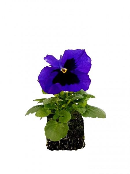 Stiefmütterchen dunkelblau mit Auge - Viola F1 wittrockiana (Erdpresstopf)