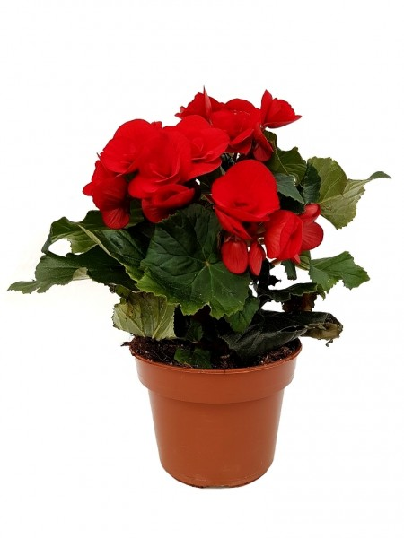 Elatior-Begonie rot - Begonia elatior (13cm Topf, 25-35cm)