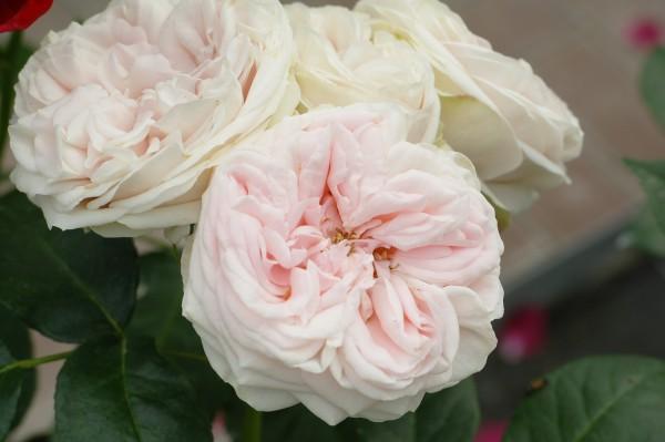 Kletterrose 'Giardina'® - Rosa (C4)