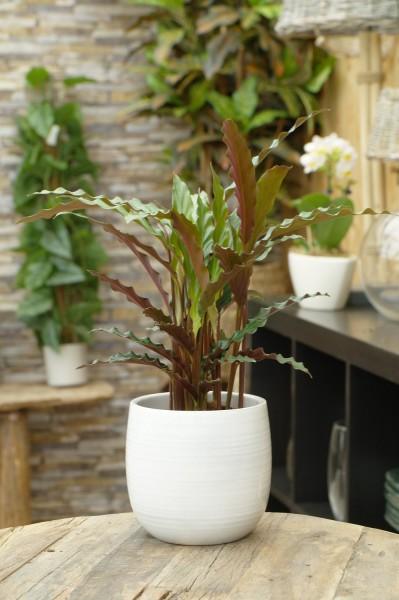 Korbmarante 'Elger grass' - Calathea rufibarba (12cm Topf, 30-50cm)