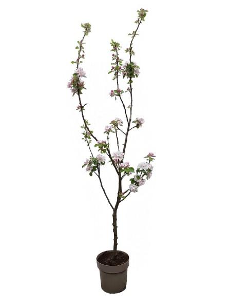 Apfelbaum 'Boskoop' - Malus domestica (C6, Sta)
