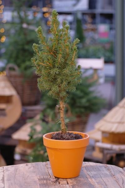 Zuckerhut-Fichte 'Conica' auf Stamm - Picea glauca (11cm Topf)