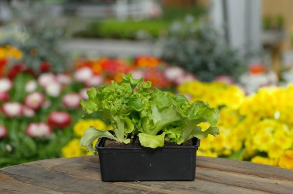 Schnittsalat 'Lollo Bionda' - Lactuca sativa (6 Jungpflanzen)