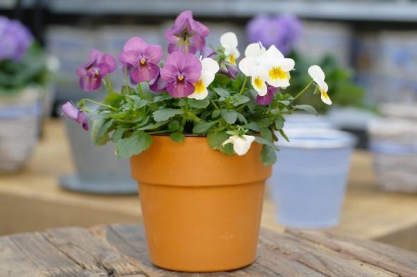 Hornveilchen DUO weiß-gelb/violett - Viola cornuta (12cm Topf)