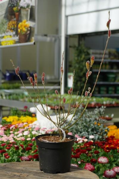 Rosa Riesen-Salweide 'Mount Aso' - Salix gracilistyla (C3, 40-60cm)
