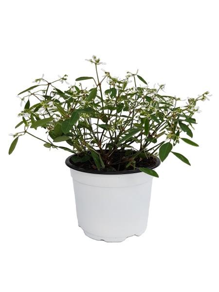 Zauberschnee 'Diamond Frost' weiß - Euphorbia hypericifolia (12cm Topf)