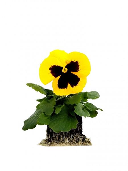 Stiefmütterchen gelb mit Auge - Viola F1 wittrockiana (Erdpresstopf)