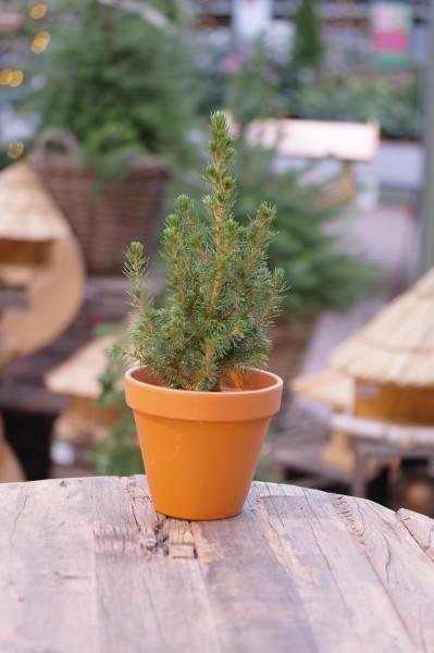 Zuckerhut-Fichte 'Conica' - Picea glauca (9cm Topf)