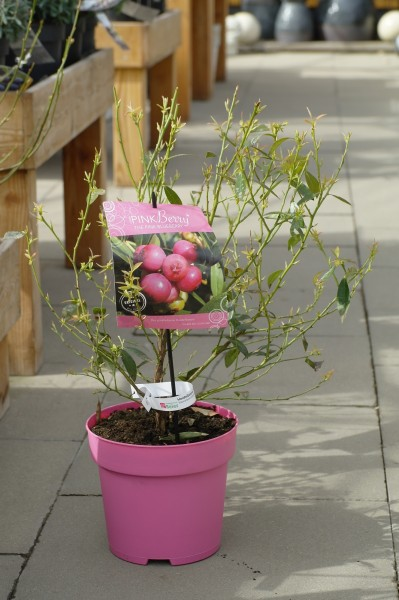 Heidelbeere 'Pink Berry'® - Vaccinium corymbosum (C4,6, 40-60cm)