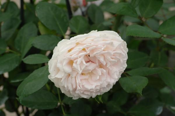 Beetrose 'Märchenzauber'® ADR-Rose - Rosa (C5)