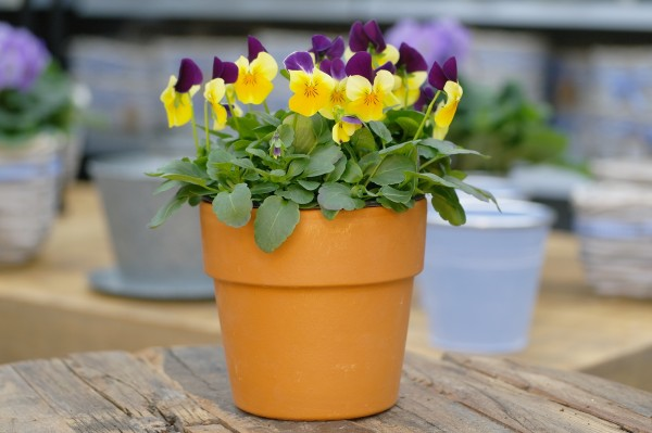Hornveilchen violett-gelb - Viola cornuta (12cm Topf)