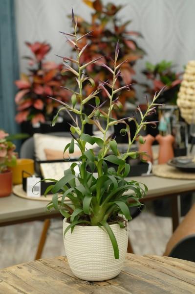 Tillandsie 'Mora' violett - Tillandsia leibold. (12cm Topf, 30-40cm)