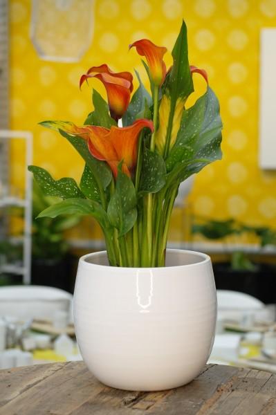 Calla 'Morning Sun' orange - Zantedeschia (14cm Topf, 40-55cm Höhe inkl. Kulturtopf)