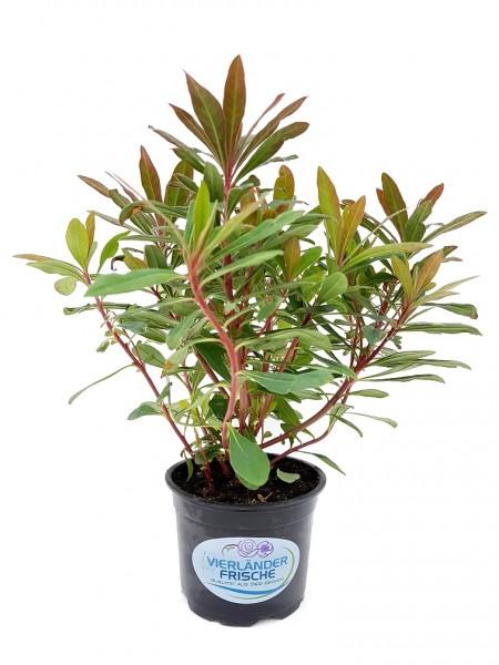 Wolfsmilch - Euphorbia amygdaloides (12cm Topf)
