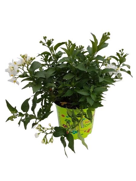 Jasminblütiger Nachtschatten - Solanum jasminoides (12cm Topf)