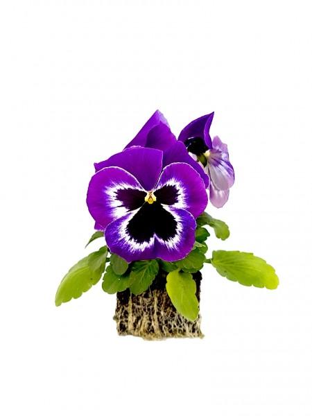 Stiefmütterchen violett-weiß mit Auge - Viola F1 wittrockiana (Erdpresstopf)
