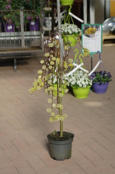 Hängende Kätzchenweide 'Pendula' - Salix caprea (C3, Sth 50-70cm)