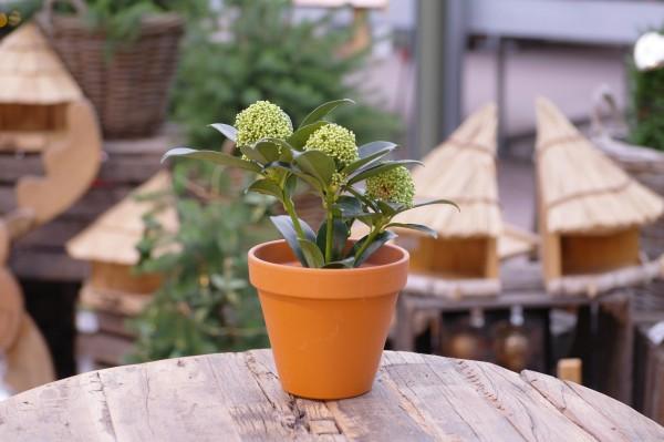 Japanische Blütenskimmie weiß - Skimmia japonica (9cm Topf, 15-25cm)
