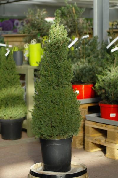 Zuckerhut-Fichte 'Conica Perfecta' - Picea glauca (C6,6, 60-80cm, topfgew.)