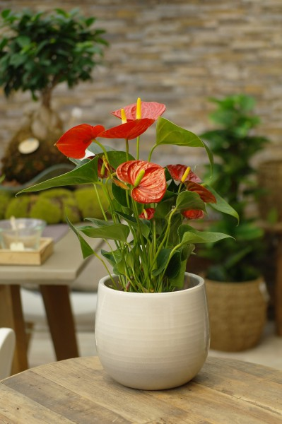 Flamingoblume 'Diamond Red' rot - Anthurium andreanum (14cm Topf, 40-60cm)