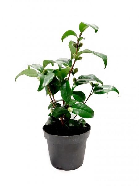 Japanische Kamelie 'Flame' - Camellia japonica (35-45cm)