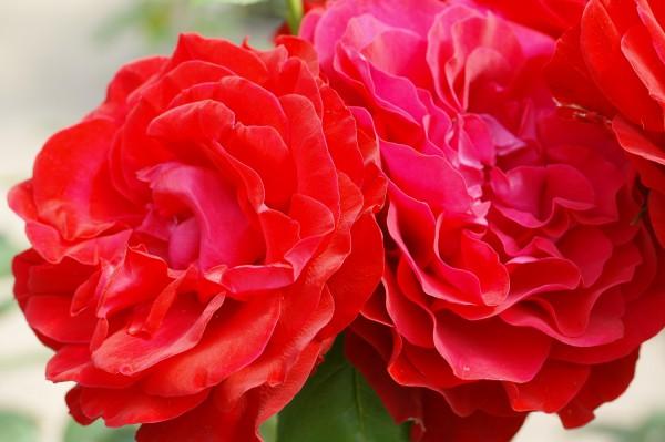 Edelrose 'Störtebeker'® - Rosa (C4)