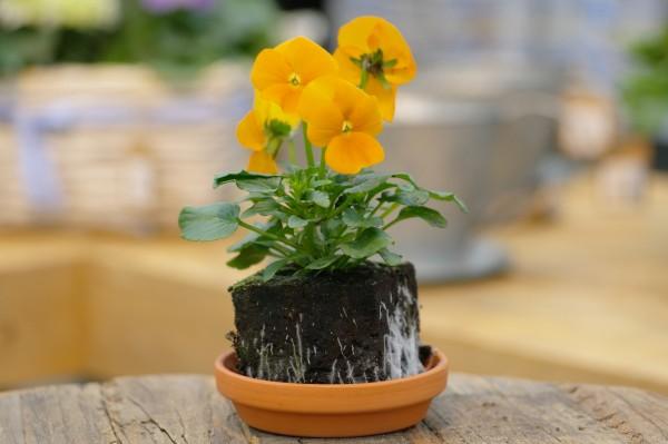 Hornveilchen orange - Viola cornuta (Erdpresstopf)