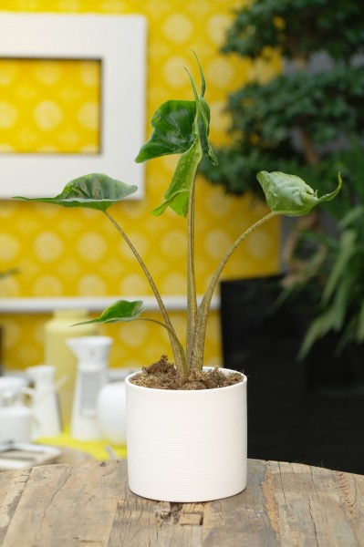 Elefantenohr 'Stingray' - Alocasia macrorrhiza (11cm T., 20-40cm Höhe inkl. Kulturtopf)