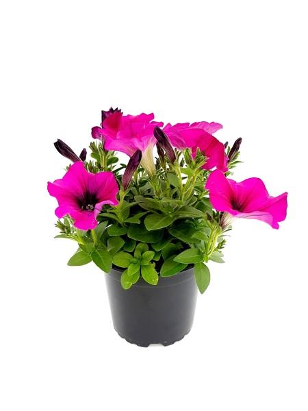 Hängepetunie pink - Petunia (12cm Topf)