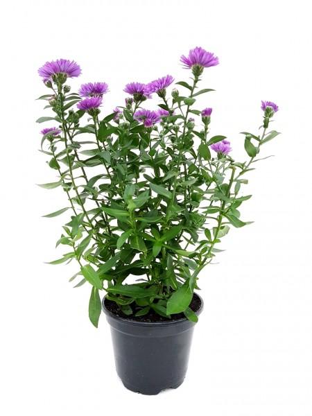 Glattblatt-Aster violett - Aster novi-belgii (25-35cm)