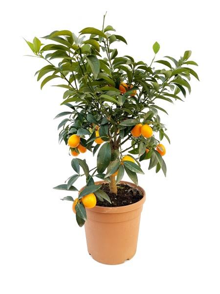Kumquat - Fortunella marga. (19cm Topf, 60-80cm)