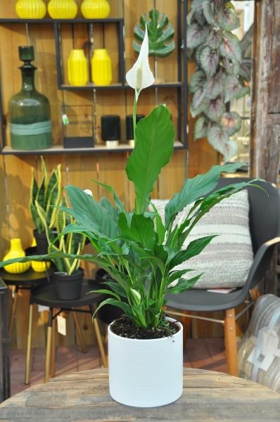 Friedenslilie 'Sweet Chico' weiß - Spathiphyllum (13cm Topf, 40-60cm)