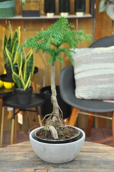Neuguinea-Araukarie - Araucaria cunningh. (16cm Topf, 30-50cm)
