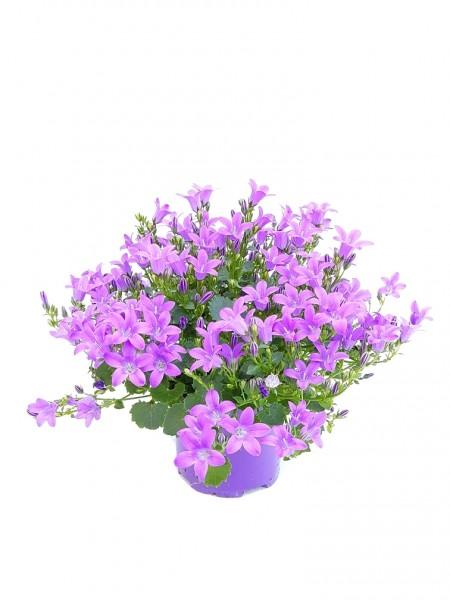 Polster-Glockenblume 'Get Mee'® violett - Campanula portenschl. (11cm T. ,15-25cm)