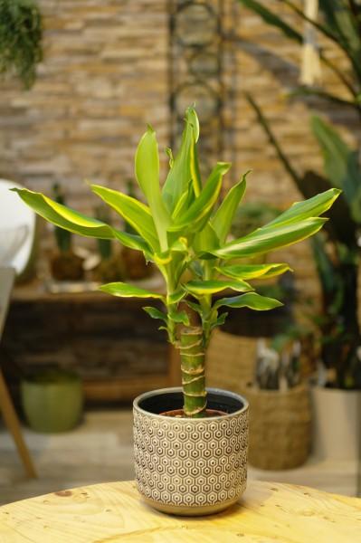Drachenbaum 'Golden Coast' - Dracaena fragrans (11cm Topf, 30-60cm Höhe inkl. Kulturtopf)