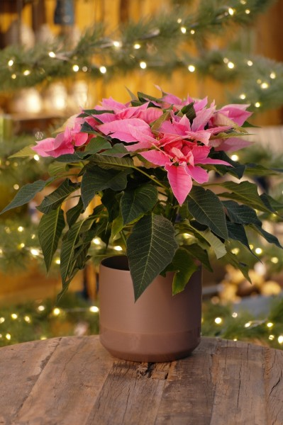 Herbststern 'Princettia® Pink' Weihnachtsstern - Euphorbia pulch. (12cm Topf, 20-30cm Höhe inkl. K