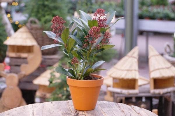 Japanische Blütenskimmie 'Rubella' - Skimmia japonica (11cm Topf)