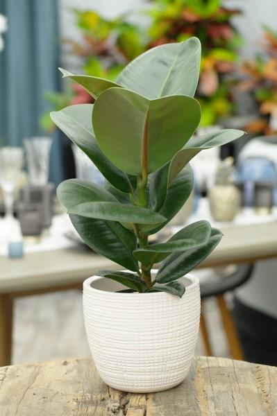 Gummibaum 'Sofia' - Ficus elastica (11cm Topf, 20-40cm)