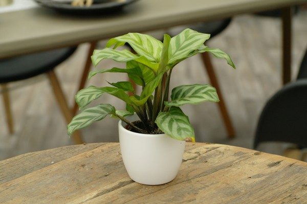 Korbmarante 'Freddie' - Calathea (Minipflanze, 6cm Topf)