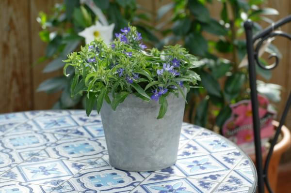 Männertreu (Hängelobelie) blau - Lobelia erinus (12cm Topf)