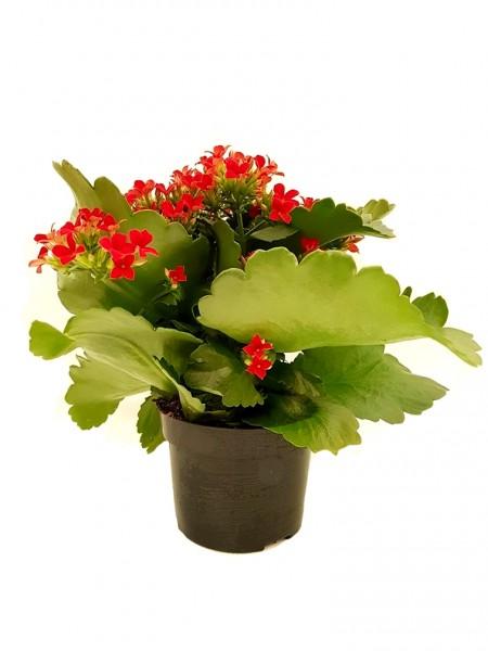 Flammendes Käthchen rot - Kalanchoe blossfel. (11cm Topf, 15-25cm)