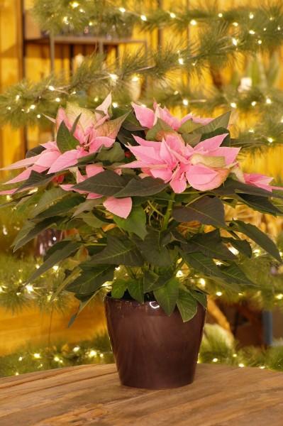 Weihnachtsstern 'J'Adore Pink' - Euphorbia pulch. (12cm Topf, 20-40cm Höhe inkl. Kulturtopf)